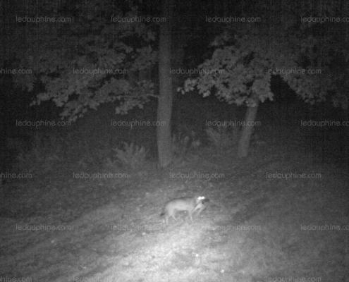 Wolves Spotted Near Chamonix