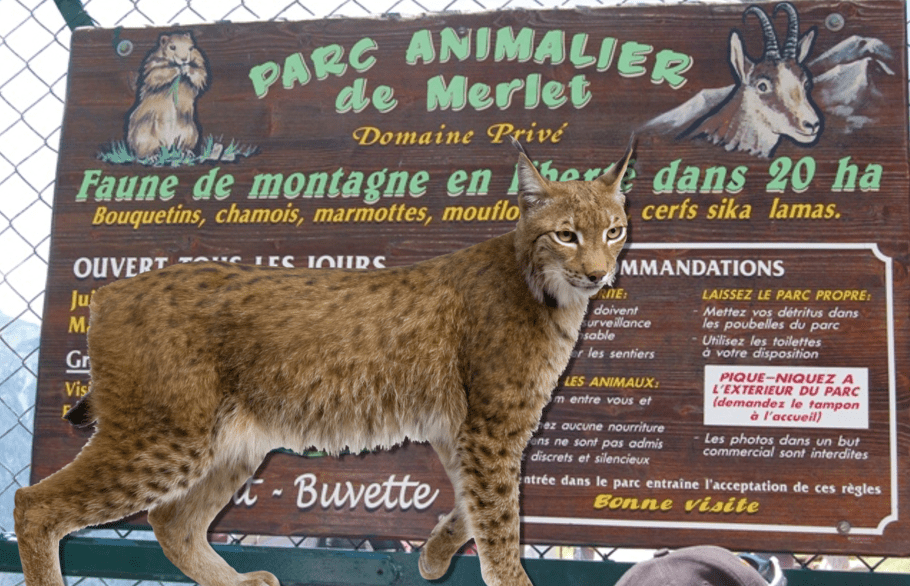 Lynx Attacks deer in Chamonixs parc merlet